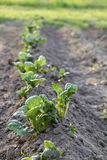 Spud to increase harvest. Field with young potato bushes in spring stock photography
