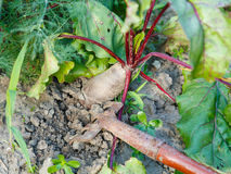 Spudding of red beet on garden bed Stock Photo