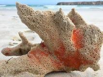 Spugna arancio del mare lavata su sulla riva Immagini Stock