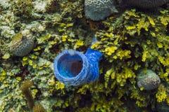 Spugna di ramificazione blu del vaso Fotografia Stock Libera da Diritti
