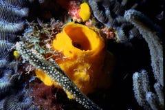 Spugna gialla della metropolitana sui coralli Immagine Stock Libera da Diritti