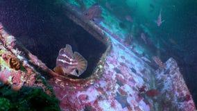 Spugne del Mar Rosso nel rottame di un naufragio archivi video