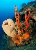 Spugne di corallo subacquee Fotografia Stock