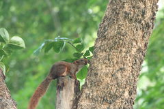spuirrel in het park Royalty-vrije Stock Fotografie