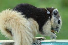 spuirrel isst Stockbilder