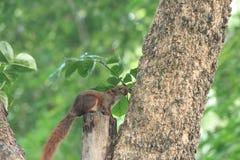 spuirrel no parque Fotografia de Stock Royalty Free