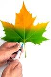 Spuit in handen op een half groen blad Stock Afbeeldingen
