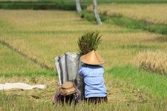 Spulatura del riso, Bali Fotografia Stock