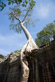 Spung tree at Preah Khan temple, Angkor Royalty Free Stock Photos