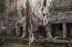 Spung Tree at Preah Khan Temple Royalty Free Stock Photo