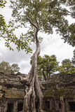 Spung Tree at Ta Prohm Temple Stock Photos