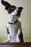 Spunky собака Стоковые Фотографии RF
