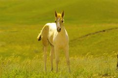 Spunky colt on a summer day Royalty Free Stock Image