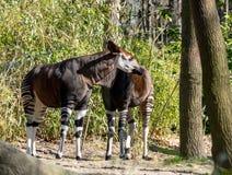 Spuntino degli okapi allo zoo di Bronx fotografia stock