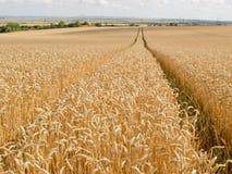 Spur durch das Weizen-Feld Lizenzfreie Stockfotos