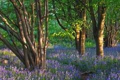 Spur durch ein Bluebellholz im Frühjahr Stockfotografie