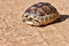 Spur-thighed Tortoise Royalty Free Stock Photos