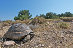 Spur-thighed tortoise. The spur-thighed tortoise, Testudo greaca, or Greek tortoise is an endangered tortoise species from southern Europe and the north of Royalty Free Stock Images