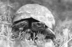 Spur-thighed tortoise Royalty Free Stock Images