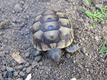 The spur-thighed tortoise Royalty Free Stock Photography