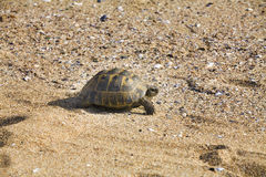 Spur-thighed tortoise Royalty Free Stock Image