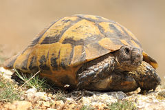 Spur-thighed tortoise closeup Royalty Free Stock Photo