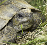 Spur-Thighed tortoise or Greek tortoise close-up (Testudo graeca ibera) Royalty Free Stock Photo