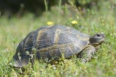 The spur-thighed tortoise or Greek tortoise Testudo graeca in natural habitat, National Park Macin Mountains, Dobrogea. Royalty Free Stock Images