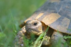 The spur-thighed tortoise or Greek tortoise Testudo graeca in natural habitat Stock Images