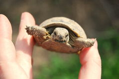 Spur-thighed tortoise Royalty Free Stock Photography