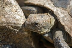 Spur-thighed tortoise .Old  turtle on the garden . Greek tortoise. Royalty Free Stock Photo