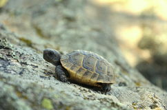 Spur-thighed tortoise Royalty Free Stock Photo