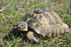 Spur-thighed tortoise Stock Photography