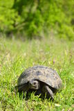 Spur-thighed tortoise Stock Image