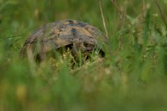 Spur-thighed Tortoise - Testudo graeca in Romania royalty free stock photography