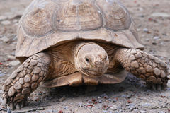 Spur-Thighed Tortoise Stock Images