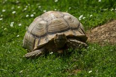 Photograph of a Spur thighed tortoise. A spur-thighed tortoise walking on green grass in the sunshine Stock Photos