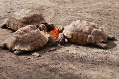 Spur-Thighed Tortoises Stock Photos