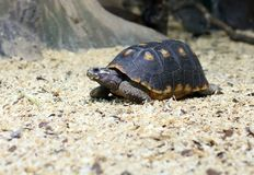 Spur-thighed turtle eating grass Stock Image