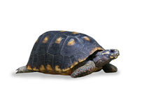 Spur-thighed turtle isolated over white Stock Image