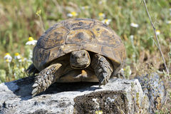Spur thighed turtle (Testudo graeca) Stock Images