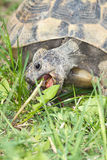 Spur-thighed turtle  / Testudo graeca i Royalty Free Stock Photography