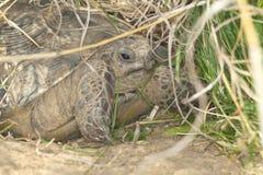 Spur-thighed turtle / Testudo graeca iber Stock Image
