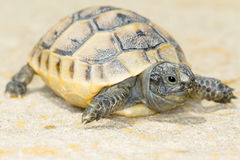 Spur-thighed turtle / Testudo graeca ibera Royalty Free Stock Photo