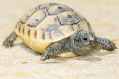 Spur-thighed turtle / Testudo graeca ibera Royalty Free Stock Photo