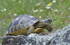 Spur thighed turtle (Testudo graeca). In natural habitat royalty free stock images