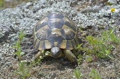 Spur thighed turtle (Testudo graeca) Royalty Free Stock Image