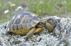Spur thighed turtle (Testudo graeca) royalty free stock photography