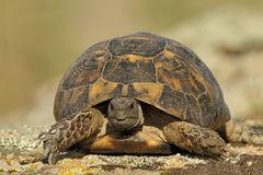 Spur thighed turtle (Testudo graeca). In natural habitat Royalty Free Stock Photography