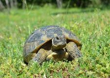 Spur thighed turtle (Testudo graeca) Stock Photos